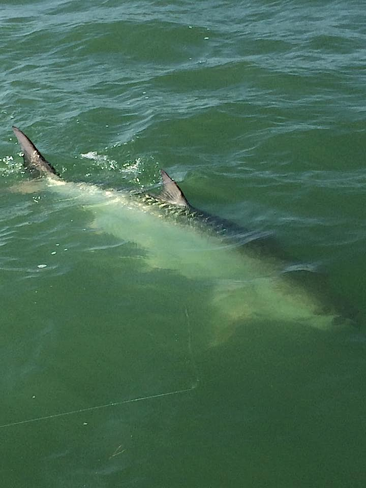 Fort myers fishing report 10 7 14 tarpon feeding on for Fishing charters fort myers florida